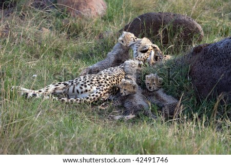 Wild Cheetah and cubs in the Masai Mara Game Reserve Kenya Africa - stock photo