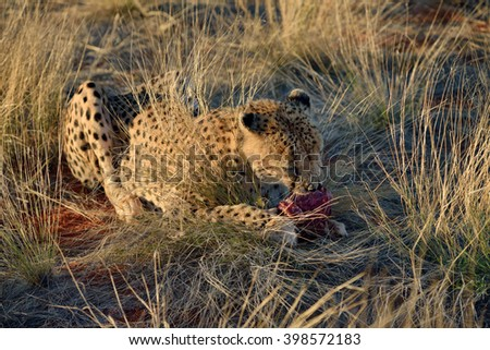 Wild Cheetah eating in high grass in the Kalahari desert after sun down. African Savannah, Namibia - stock photo