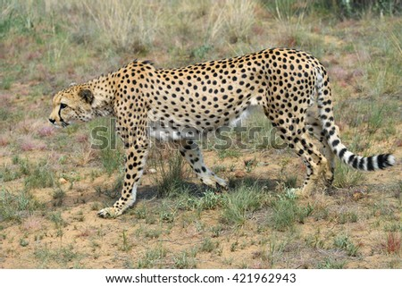 Wild Cheetah In the African Savannah, Namibia - stock photo