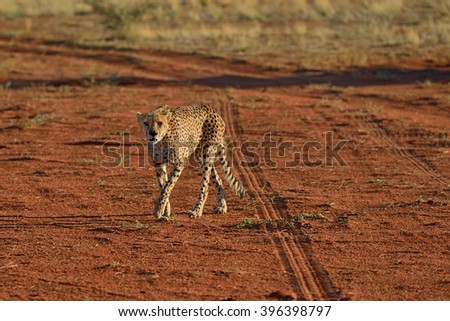 Wild Cheetah In the Kalahari desert at sunset. African Savannah, Namibia. Warm evening light - stock photo