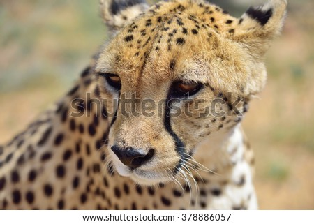Wild Cheetah portrait In African Savannah, Namibia - stock photo