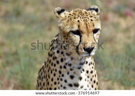 Wild Cheetah portrait  In the African Savannah, Namibia - stock photo