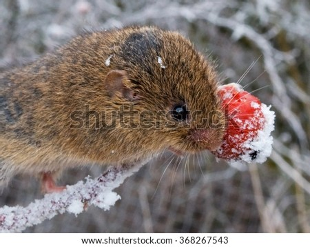 Wild common vole is eating a rosehip in the winter - stock photo