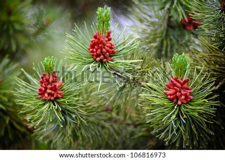wild cone tree - stock photo