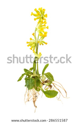 Wild cowslip with roots isolated on white background - stock photo