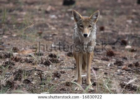 wild coyote - stock photo