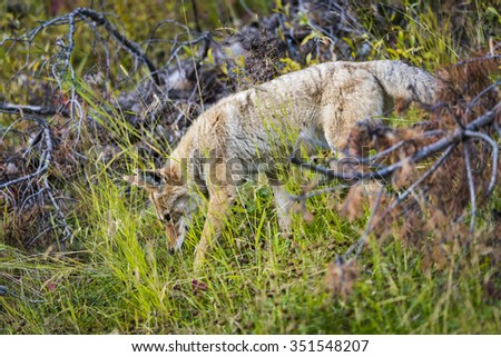 Wild Coyote hunting in a roadside meadow in the Rocky Mountains of Alberta Canada - stock photo