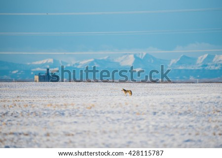 Wild coyote in a snowcovered prairie field with mountains in the background - stock photo