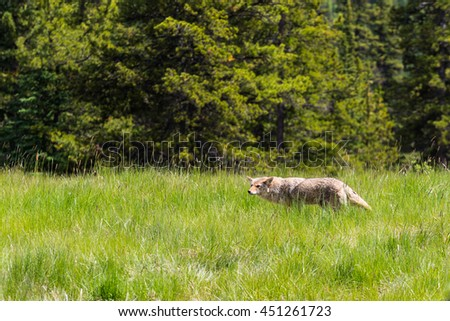 Wild Coyote stalking its prey in a mountain meadow in summer Kananaskis Country Alberta Canada - stock photo