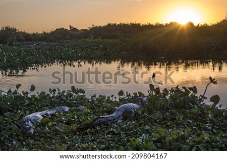 Wild Crocodile in Pantanal National Park - Pantanal is one of the world's largest tropical wetland areas located in Brazil - stock photo