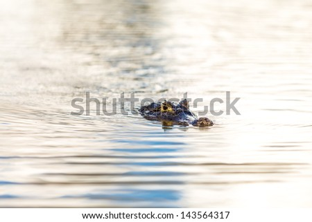 Wild Crocodile on the river - stock photo