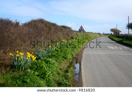 Wild daffodils growing beside a country road in Cornwall, UK. - stock photo