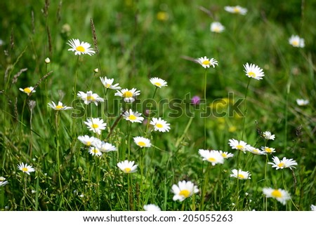 Wild daisies blooming in the meadow - stock photo