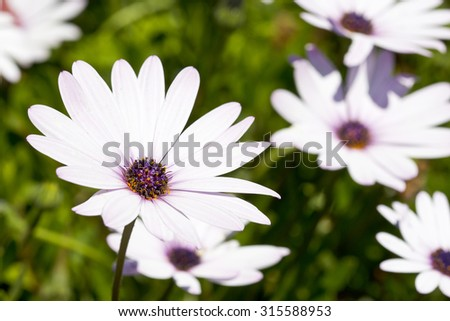 wild daisy flowers in full bloom in bright spring sunlight - stock photo