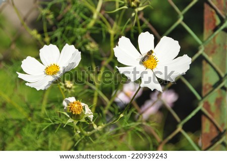 wild daisy growing through wire fence with a bee on it  - stock photo