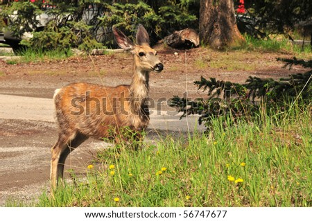 wild deer frolicking near Banff National Park, Canadian Rockies - stock photo