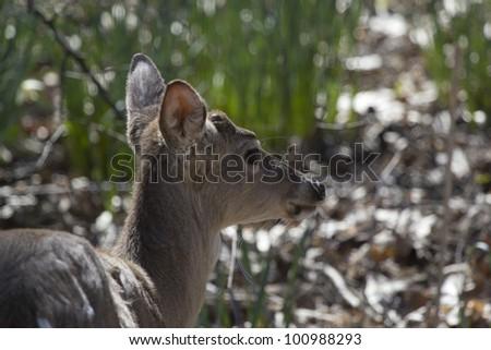 Wild Deer Grazing - stock photo