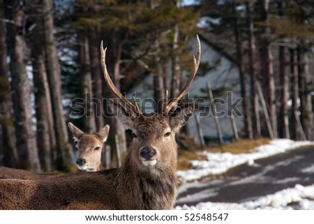 Wild deer herd in winter in Glencoe Scottish Highlands UK - stock photo