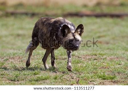 Wild dog stalking; Lycaon pictus - stock photo
