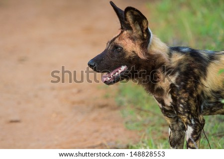 Wild dog standing looking for prey - stock photo