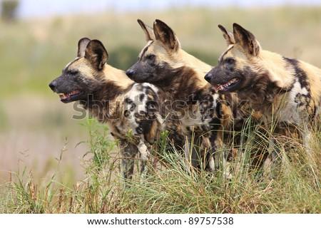 wild dogs - stock photo