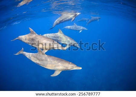 Wild dolphins living in 3 hours away island from Tokyo . - stock photo