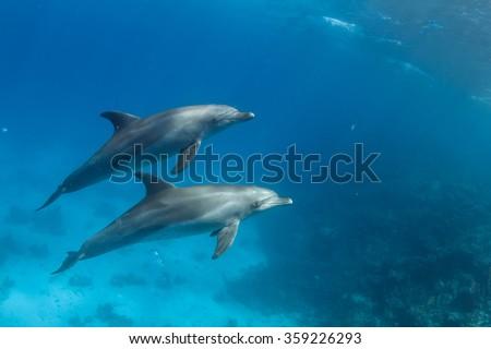 Wild dolphins underwater. Sealife marine animals design template. - stock photo