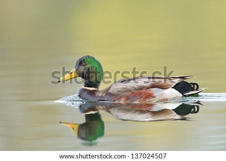 Wild duck (Anas platyrhynchos) swimming. - stock photo