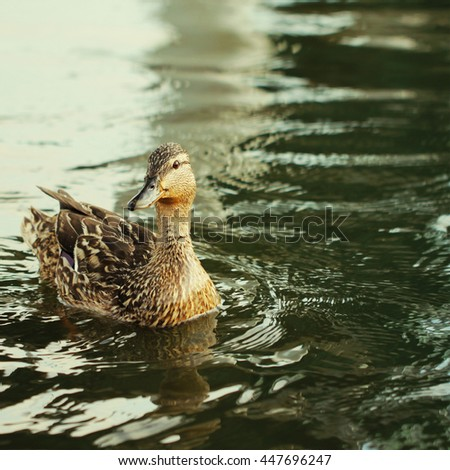 Wild duck bird in the lake or pond beautiful photo - stock photo