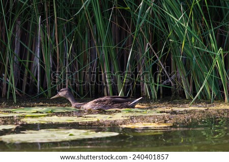 Wild duck floating on the river. - stock photo