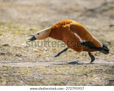Wild duck in their natural habitat. - stock photo