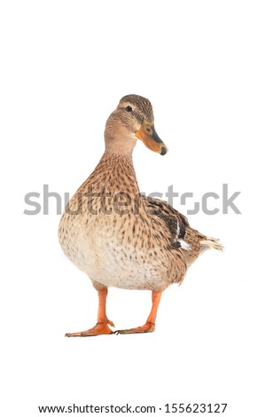 wild duck on a white background - stock photo