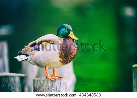 Wild Duck Portrait Close Up - stock photo