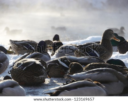 Wild ducks flying in the winter - stock photo