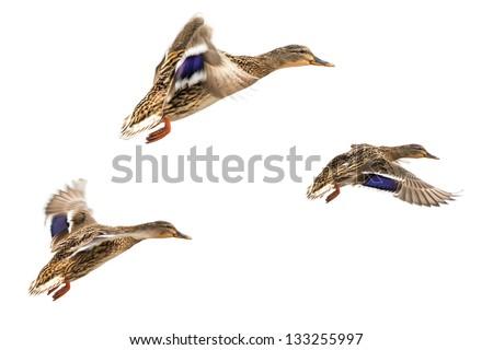 Wild ducks in flight isolated on white - stock photo
