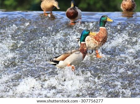 Wild ducks, lat.  Anas platyrhynchos, on the weir - stock photo