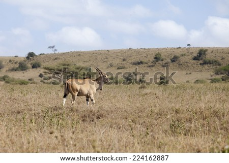 Wild eland in natural habitat in Kenya - stock photo