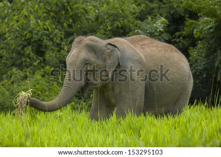 Wild elephant eating grass in the green field, thailand - stock photo
