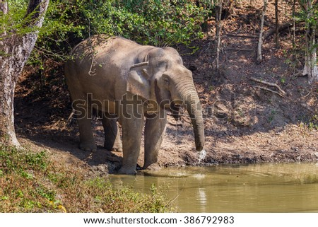 Wild elephants (Elephas maximus) come to drink some water  in real nature at Kengkracharn national park, Thailand - stock photo