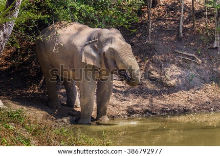 Wild elephants (Elephas maximus) spraying water into his mount in real nature at Kengkracharn national park, Thailand - stock photo