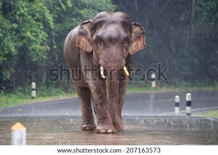 Wild elephants walk alone on the road in the rain  - stock photo