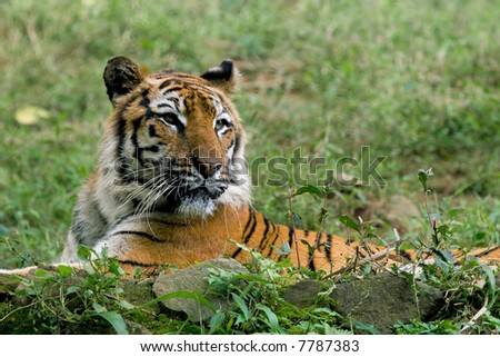 wild endangered tiger spying on his prey - stock photo