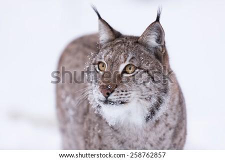 Wild Eurasian lynx in snowy scene - stock photo