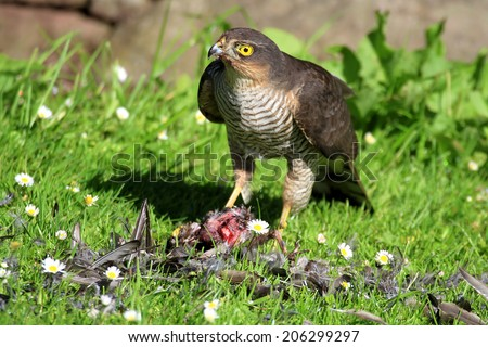 Wild Eurasian Sparrowhawk (Accipter nisus). Plucking its Starling prey on grass area with daisy's. Taken in Scotland, UK.  - stock photo
