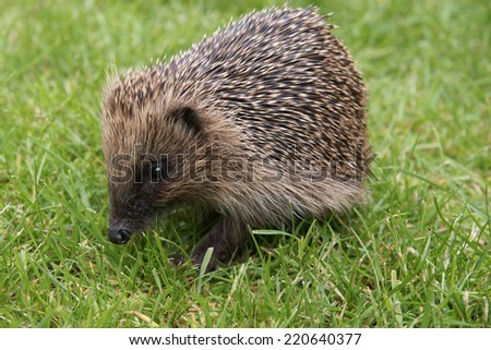 Wild European hedgehog during the day - stock photo