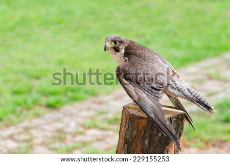 Wild falcon predator hawk fastest raptor bird of prey perched on stump and spread their wings against green grass with free copy-space area for text - stock photo