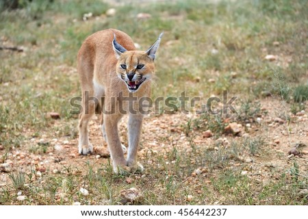 Growl Stock Photos Images amp Pictures Shutterstock