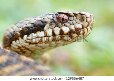 Wild female european adder (Vipera berus berus) portrait - stock photo