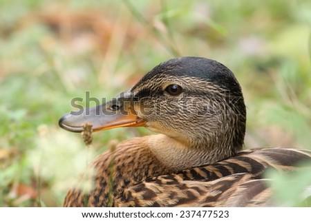 wild female mallard duck ( Anas platyrhynchos ) portrait, close up on head - stock photo