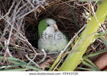Wild Female Monk Parakeet in a nest in Cape Coral, Florida. - stock photo